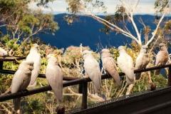 Kakadus in den Blue Mountains