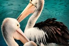 Pelikane in Port Macquarie